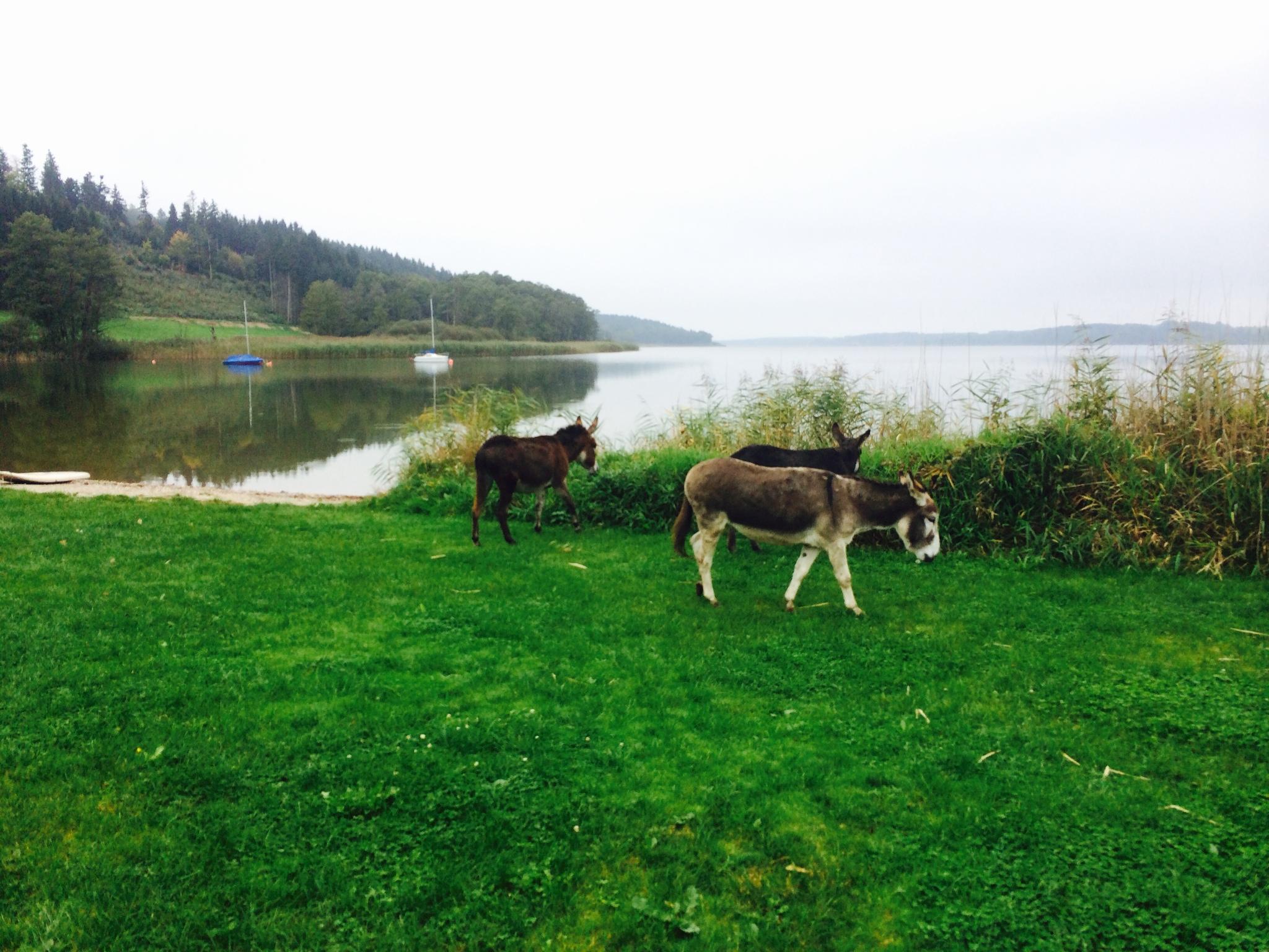 Esel Spaziergang zum See Camping Stein