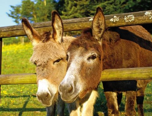 Pony und Esel